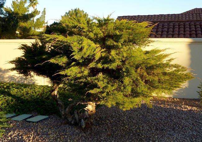 купить семена можжевельника казацкого juniperus sabina seeds саженцы