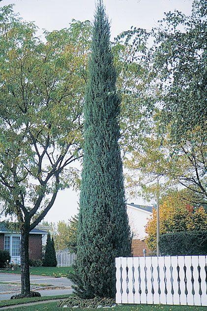 купить семена можжевельника скального juniperus scopulorum seeds regbnm семена и саженцы