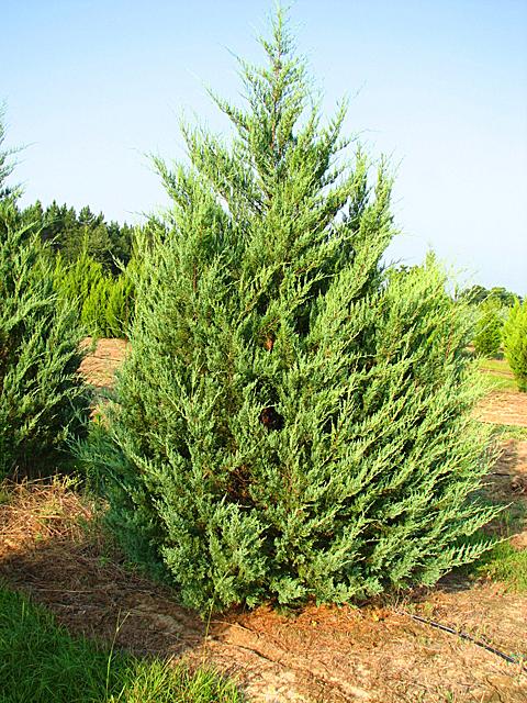 продажа семян можжевельника виргинского juniperus virginiana seeds regbnm семена и саженцы