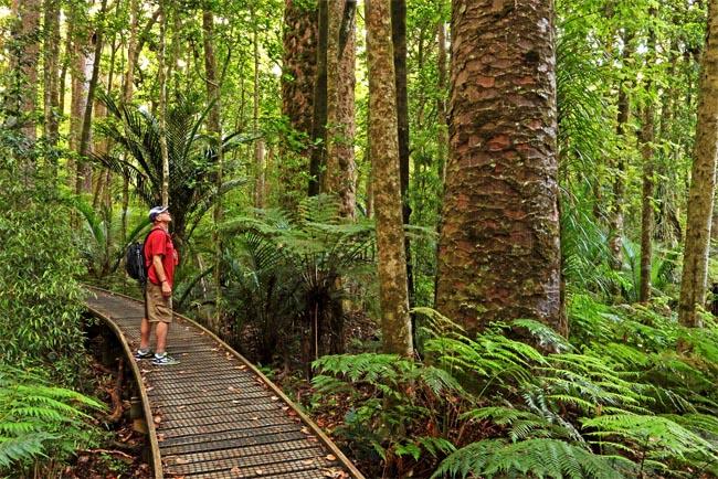 семена новой зеландии дерева каури agathis australis seeds огромный ассортимент семян растений новой зеландии