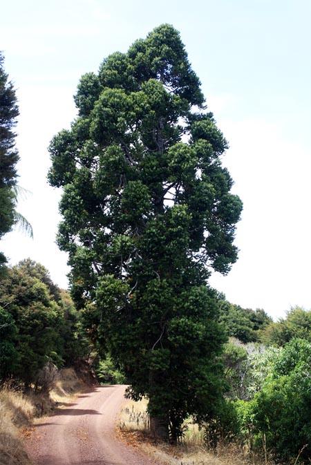 продам семепна дерева каури kauri agathis australis seedling саженцы и семена декоративных растений кустарниуов и деревьев