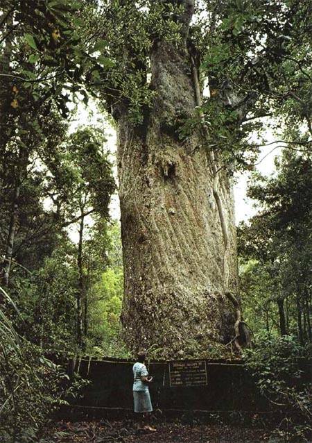 купить семена дерева каури kauri agathis australis seedling в питомнике растений , доставка по всей России и зарубеж
