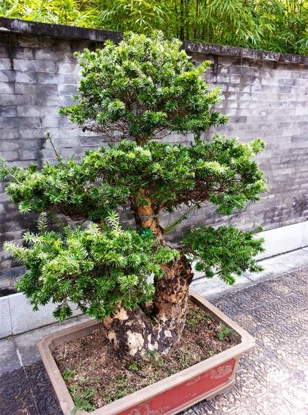 продам бонсай редкого растения кетелеерия keteleeria bonsai моя коллекция бонсай