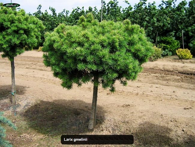 продажа семян лиственницы гмелина larix Gmelinii купить саженцы лиственницы даурской в питомнике декоративных растений зкс лучшие сорта