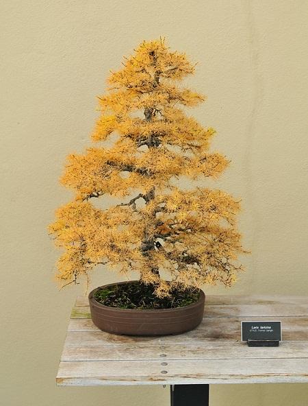 купить вонсай лисвенницы американсой larix laricina bonsai seeds большой каталог семян лисвенницы на сайте питомника Сидландия
