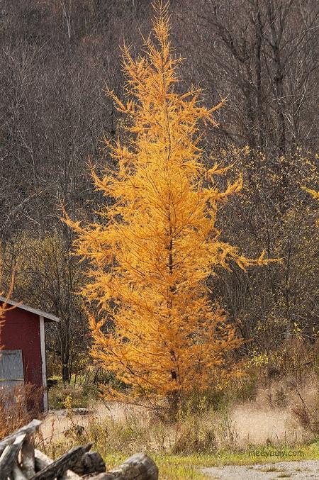 праздничная распродажа семян и саженцев лиственницы американской larix laricina seeds живая иггородь из лиственницы самая быстрорастущая