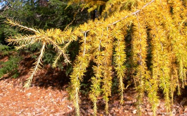 купить семена лиственницы американской larix laricina много сортов лиственницы