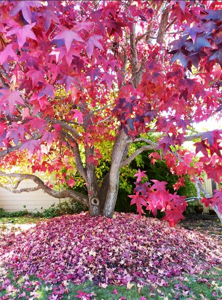 купить семена редкого декоративного растения ликвидамбр смолоносный liquidambar styraciflua seedling в интернет магазине с огромным каталогом семян более 2000 позиций в поставках
