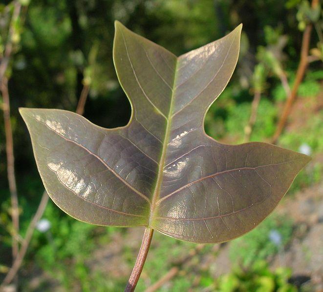 продаем семена лириодендрона китайского liriodendron chinense
