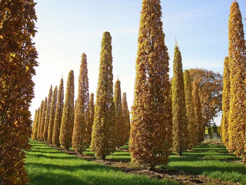 семена и саженцы лириодендрона распродажа liriodendron seedling