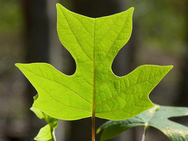 продаем семена лириодендрона liriodendron seeds