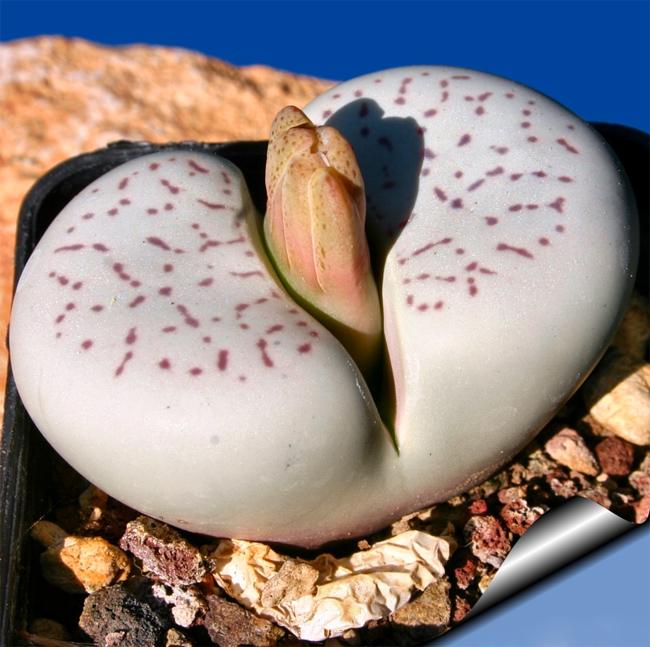 купить семена литопса динтерантус ванжи Lithops dinteranthus vanzijlii seeds