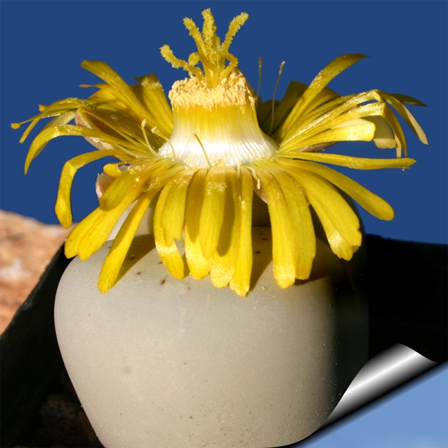 продажа семян литопса динтерантус ванжи Lithops dinteranthus vanzijlii seeds