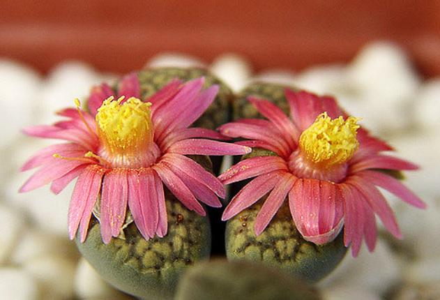 купить живые камни Lithops семена в москве