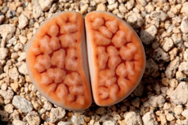 купить семена литопса карамонтана красный Lithops Karasmontana Mickbergensis seeds