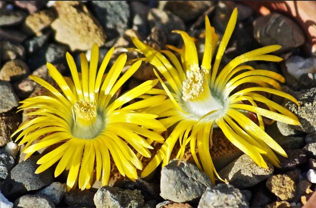 продажа семян литопсов лесли мари Lithops Lesliei mariae seeds