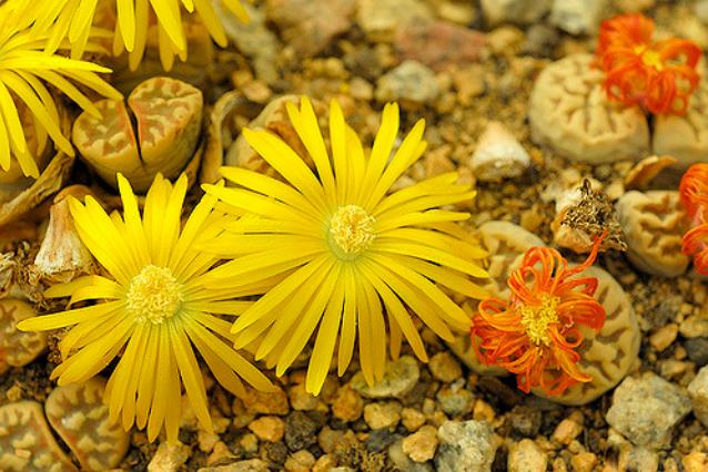 семена литопсы живые камни Lithops ассортимент