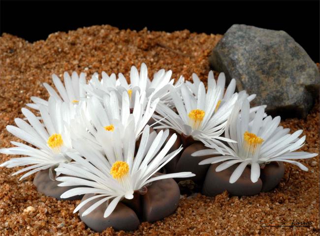 купить семена литопсов Lithops seeds