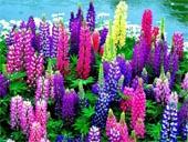 продам семена люпинов lupinus seeds в интернет магазине Сидландия