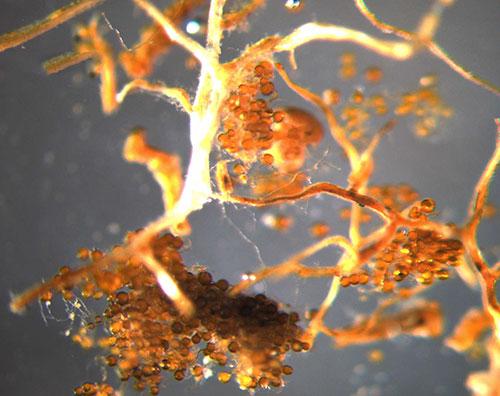 продажа микориза биологиченский усилитель роста micorriza для саженцем и растений