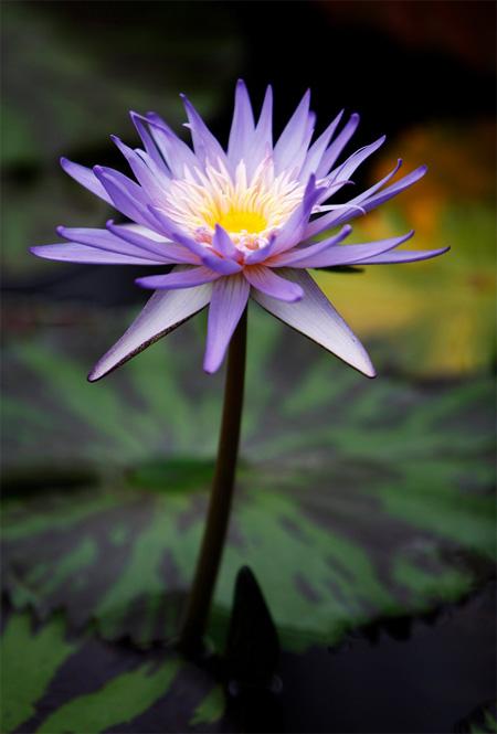 продажа семян кувшинок nymphaeya caerulea seeds нимфея голубой лотос