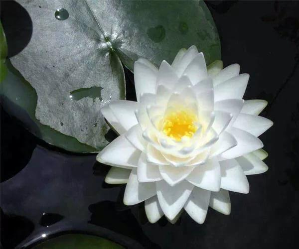 купить водные лилии нимфеи в питомнике водных растений Сидландия саженцы в контейнерах корневище белой кувшинки гоннер nymphaeya Gonnere seedling закупка водных растений