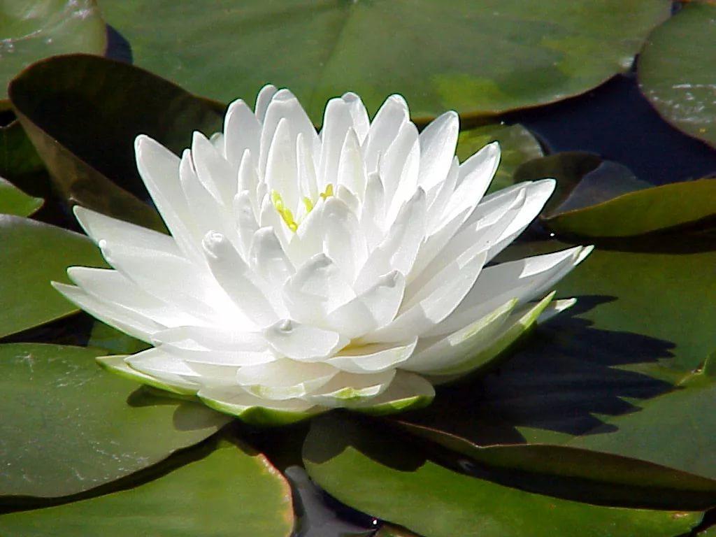 продам нимфею белую гоннер дешево махровая гоннер крупноцветковая водяная лилия nymphaea gonnere лучшая цена на нимфеи и кувшинки растения с доставкой
