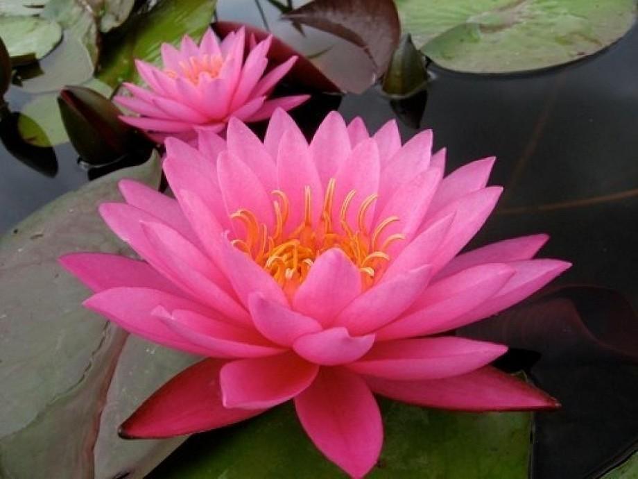 купить кувшики нимфеи бобышки nymphaea Mayla взрослые водные растения по выгодной цене
