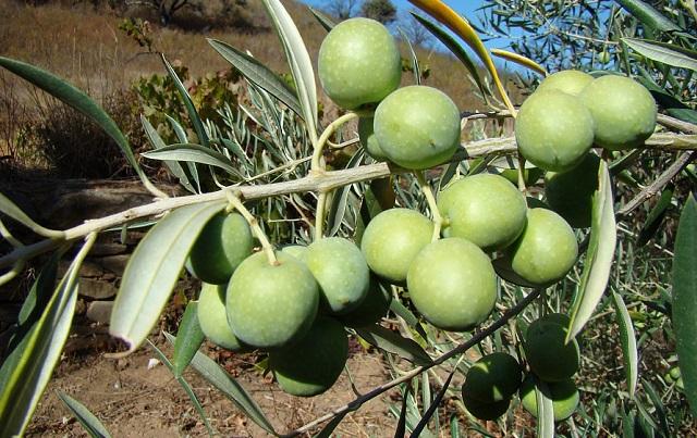 купить семена оливкового дерева olea europaea seedling sale семена маслины свежие SeedLandia seeds for all oversea sales