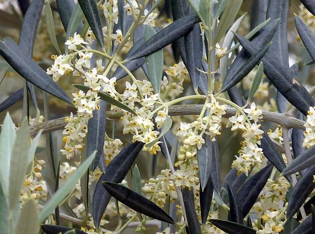 распродажа семян оливки olea europaea seeds catalogue огромный ассортимент семян растений SeedLandia seeds пересылка семян почтой