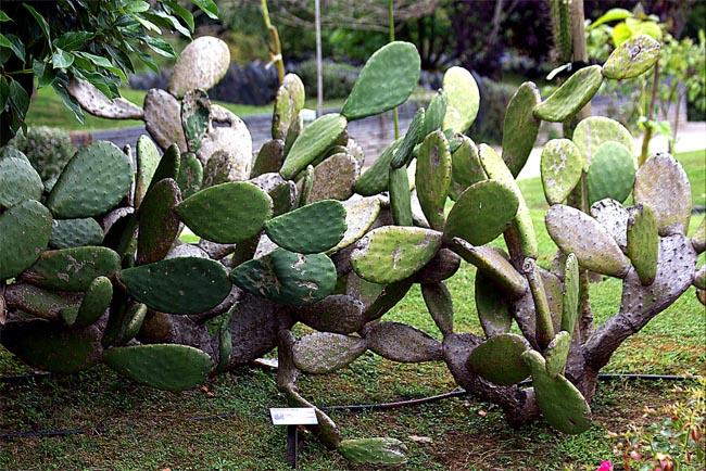 распродажа семян кактусов опунций холодостойких bylbqcrbq abrec opuntia ficus indica seeds купить кактусы в интернет магазине