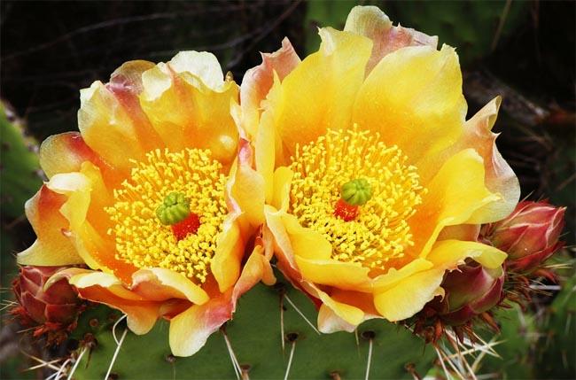 распродажа семян кактусов опунции opuntia seeds sale в интернет магазине кактусов