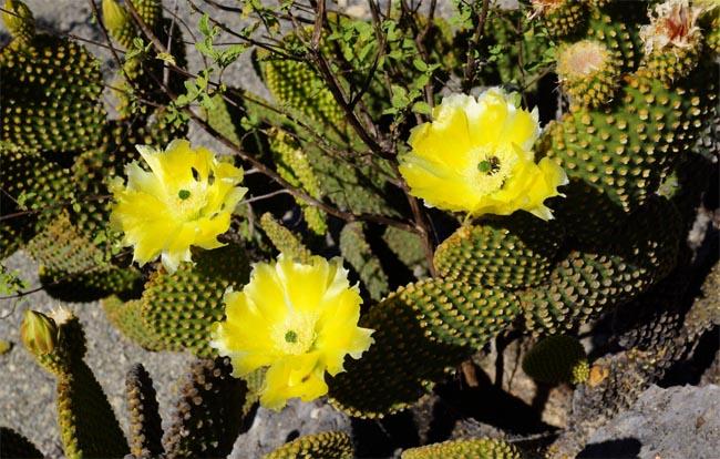 продаем семена опунции морозостойкой суккулентов кактусов
