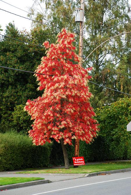 купить семена оксидендрум древовидный oxydendrum arboreum seeds распродажа семян в интернет магазиной с пересылкой почтой