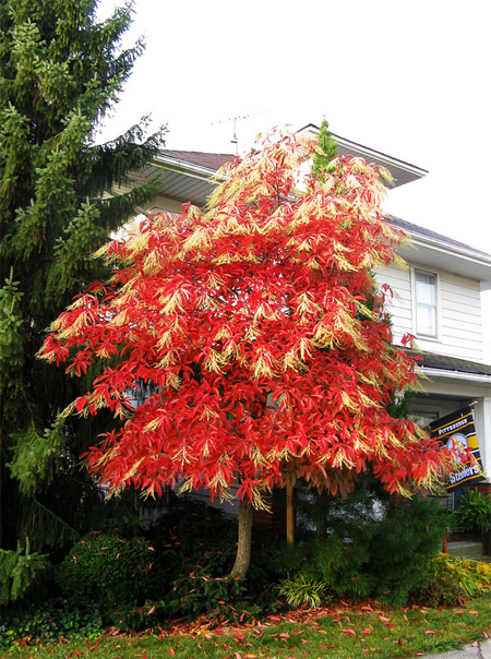 совместная закупка семян оксидендрума древовидного oxydendrum arboreum seeds саженцы в современном питомнике растений москва