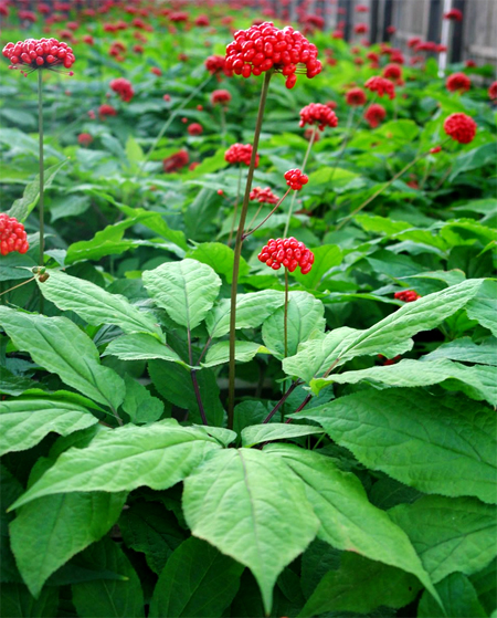 купить рассаду женьшеня ginseng seeds совместная закупка пассады и семян женьшень