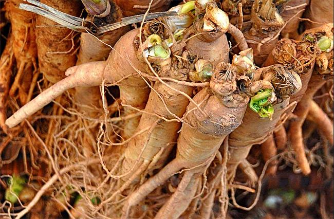 распродажа семян и свежих корней жень-шеня ginseng roots seeds купить настойку женьшеня