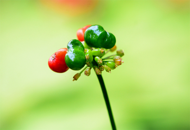 продажа семена корни настройки женьшеня panax ginseng семена и саженцы и коренья