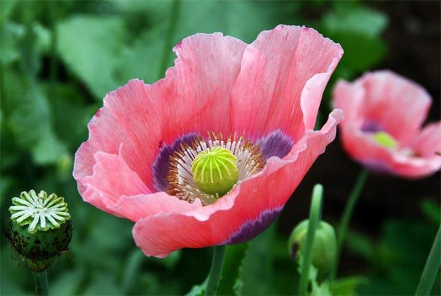купить семена мака Рай Бинер papaver Rye Beaner seeds совместная закупка семян сортового мака , отправка заказов почтой