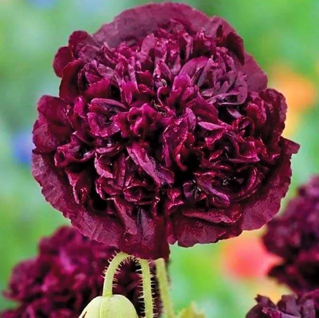 продам семена мака черного многолетнего пионовидного papaver black paeoniflorium seeds саженцы и семена декоративных маков пионоцветных