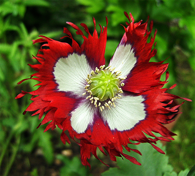 купить семена мака датский флаг Papaver danish flag Poppy seeds ассортимент семян многолетних цветов