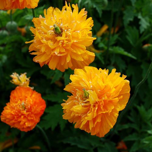 купить семена мака флоре плено аурантика meconopsis flore pleno aurantiaca seeds лучшие цветы для сада и горки огромная коллекция