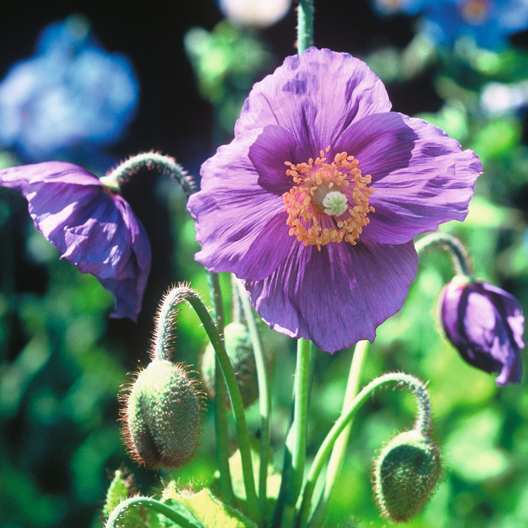 продам семена мака фиолетового Papaver Baileyi Hensol violet Poppy seeds коллекция сортов мака