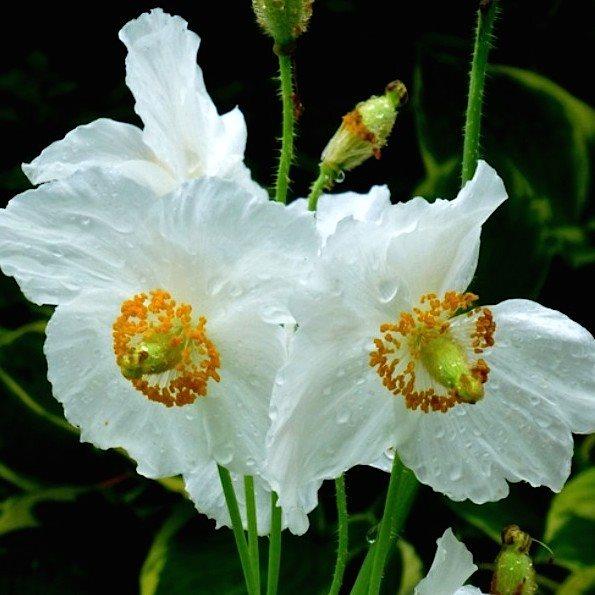 распродажа семян мака меконопсис буквицелистный papaver meconopsis betonicifolia seeds все цветы для сада в одном магазине в москве