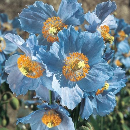 продам семена мака меконопсис буквицелистный голубого papaver meconopsis betonicifolia blue seeds цветы для клумбы альпинария и горки