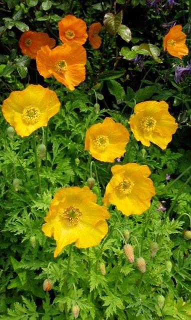 продажа семян мака много видов в ассортименте меконопсис камбрийский желтый meconopsis cambrica welsh poppy seeds рассада многолетних маков в питомнике