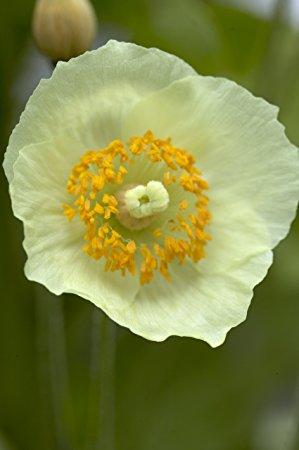 купить семена мака меконопсис сатиновый papaver meconopsis napaulensis satin seeds совместная закупка семян мака