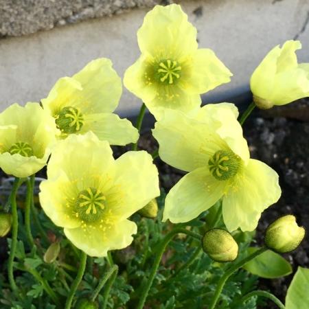 продам семена мак papaver moondance seeds в питомнике эитных и редких растений в Москве SeedLandia seeds sale