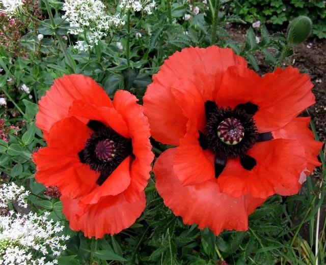 продам семена мака восточного крупноцветкового Бриллиант Papaver Orientale 'Brilliant' Poppy seeds коллекция многолетних маков