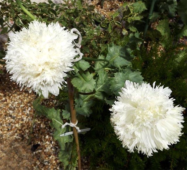 распродажа семян мака Белое Облако Papaver paeoniflorum White Cloud Peony seeds внимание Акция , скидка на семена мака декоративного